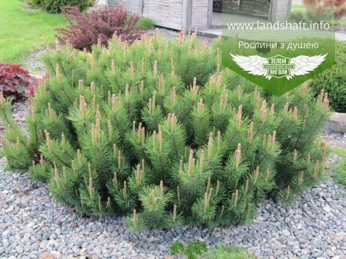 Pinus mugo 'Mughus', Сосна гірська 'Мугус',C2 - горщик 2л