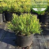 Pinus mugo 'Mughus', Сосна гірська 'Мугус',C2 - горщик 2л, фото 2
