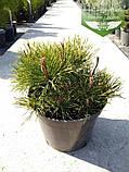 Pinus mugo 'Mughus', Сосна гірська 'Мугус',C2 - горщик 2л, фото 3