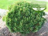 Pinus mugo 'Mughus', Сосна гірська 'Мугус',C2 - горщик 2л, фото 4