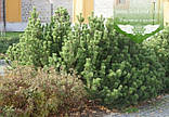 Pinus mugo 'Mughus', Сосна гірська 'Мугус',C2 - горщик 2л, фото 5