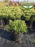 Pinus mugo 'Mughus', Сосна гірська 'Мугус',C2 - горщик 2л, фото 9