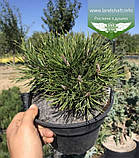 Pinus mugo 'Mughus', Сосна гірська 'Мугус',C2 - горщик 2л, фото 10
