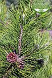 Pinus mugo 'Mughus', Сосна гірська 'Мугус',WRB - ком/сітка,50-60см, фото 7