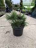 Pinus mugo 'Mughus', Сосна гірська 'Мугус',WRB - ком/сітка,50-60см, фото 8