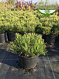 Pinus mugo 'Mughus', Сосна гірська 'Мугус',WRB - ком/сітка,50-60см, фото 9