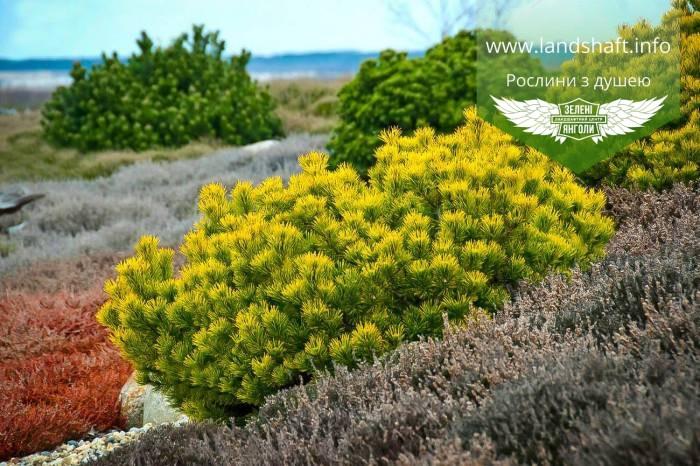 Pinus mugo 'Winter Gold', Сосна гірська 'Вінтер Голд',C2 - горщик 2л,25-30см