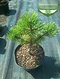 Pinus mugo 'Winter Gold', Сосна гірська 'Вінтер Голд',C2 - горщик 2л,25-30см, фото 2