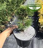 Pinus mugo 'Winter Gold', Сосна гірська 'Вінтер Голд',C2 - горщик 2л,25-30см, фото 3