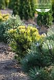 Pinus mugo 'Winter Gold', Сосна гірська 'Вінтер Голд',C2 - горщик 2л,25-30см, фото 4
