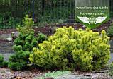 Pinus mugo 'Winter Gold', Сосна гірська 'Вінтер Голд',C2 - горщик 2л,25-30см, фото 5