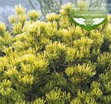 Pinus mugo 'Winter Gold', Сосна гірська 'Вінтер Голд',C2 - горщик 2л,25-30см, фото 6