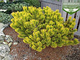Pinus mugo 'Winter Gold', Сосна гірська 'Вінтер Голд',C2 - горщик 2л,25-30см, фото 8
