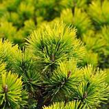Pinus mugo 'Winter Gold', Сосна гірська 'Вінтер Голд',C2 - горщик 2л,25-30см, фото 9