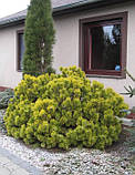 Pinus mugo 'Winter Gold', Сосна гірська 'Вінтер Голд',C2 - горщик 2л,25-30см, фото 10