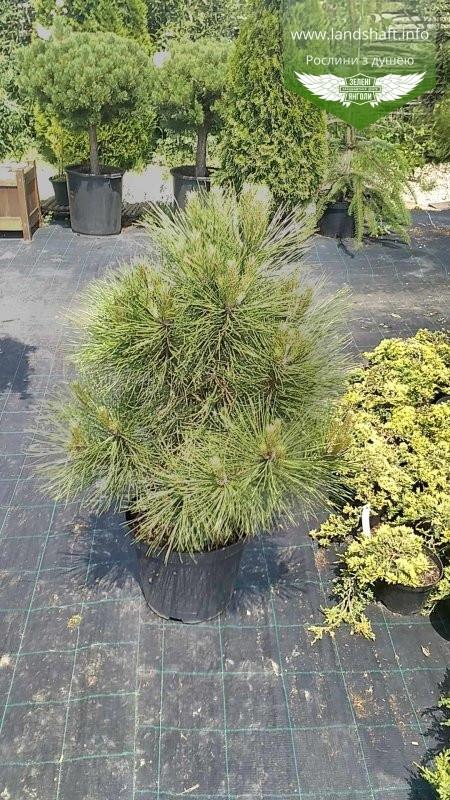 Pinus nigra 'Spielberg', Сосна чорна 'Спілберг',60-80см,C25 - горщик 20-25л