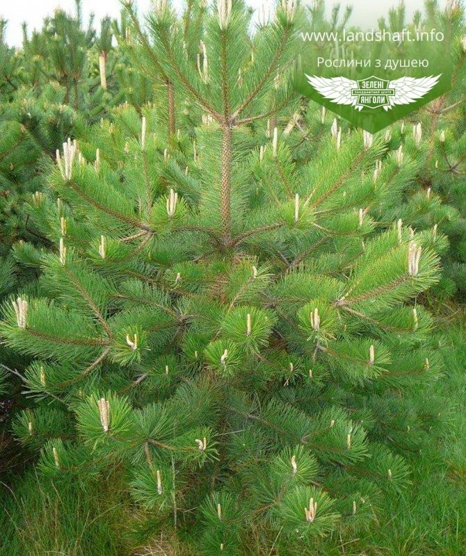 Pinus nigra, Сосна чорна європейська,WRB - ком/сітка,80-100см