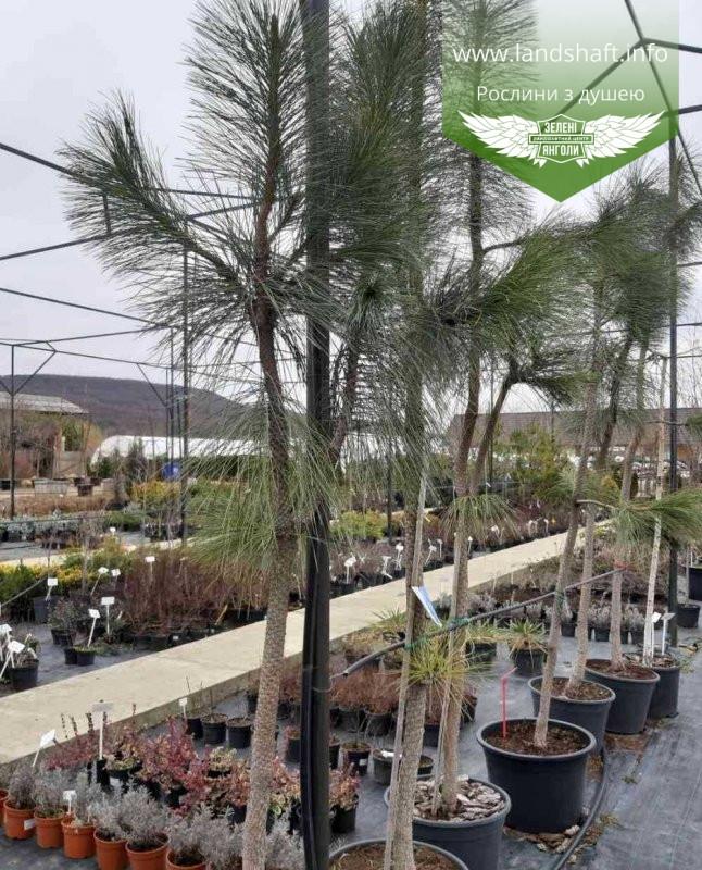 Pinus ponderosa 'Pendula', Сосна жовта 'Пендула',C50 - горщик 50л,220-280см