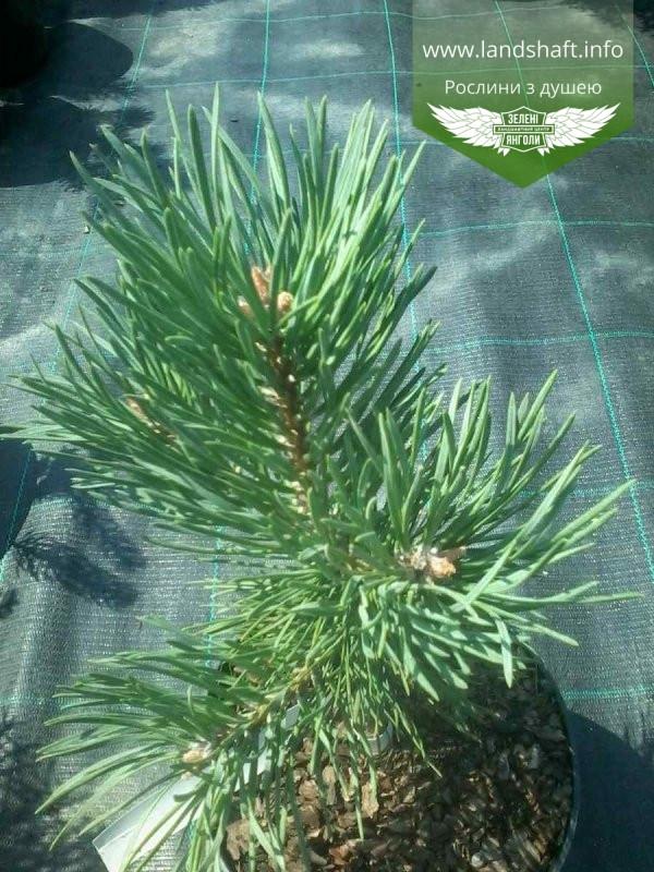 Pinus sylvestris 'Albyns', Сосна звичайна 'Альбінс',WRB - ком/сітка,60-80см