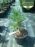 Pinus sylvestris 'Albyns', Сосна звичайна 'Альбінс',WRB - ком/сітка,60-80см, фото 2