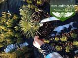 Pinus sylvestris 'Albyns', Сосна звичайна 'Альбінс',WRB - ком/сітка,60-80см, фото 3