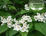 Catalpa speciosa, Катальпа чудова,WRB - ком/сітка,160-180см, фото 3