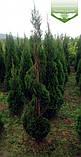 Thuja 'Smaragd' Form, Туя 'Смарагд' Формована,160-180см,Спіралев.стрижка,C45 - горщик 45л, фото 3