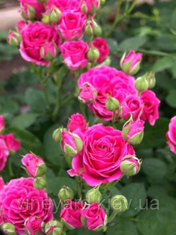 Роза Лавлі Лідія кущова дрібноквіткова спрей Lovely Lidia саджанець з відкритим коренем