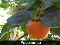 "Хурма ""Россиянка"""