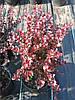 Саженцы барбариса  Berberis thunbergii 1,5 м