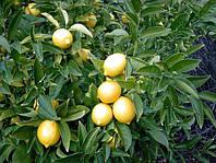 Саженцы лимона Мейера