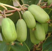 Саженцы актинидии (киви) аргута Джамбо (Jumbo) - женский сорт