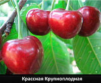 """Саженцы черешни """"Красная крупноплодная"""""""