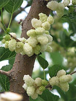 Шелковица десертная белая