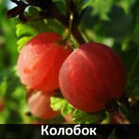 """Крыжовник """"Колобок"""""""