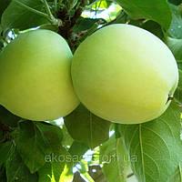Яблони Папировка (Белый налив)