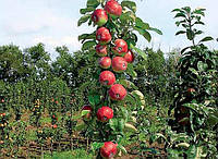 Яблоня колоновидная Останкино