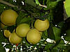 Грейпфрут Дункан