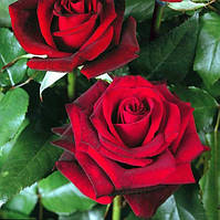 Роза Блек Меджик