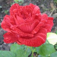 Роза Ред Интуишен