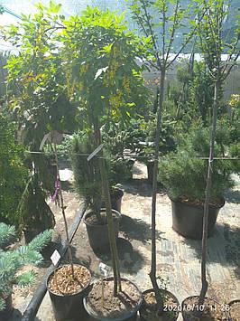Бобовник плакучий( Висота прищепи 1.6 м.)