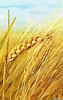 Пшеница Одесская 267 (Элита и 1 репр.)