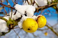 Подготовка яблони к зиме