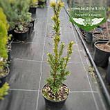 Taxus x media 'Hicksii', Тис середній 'Хіксі',WRB - ком/сітка,120-140см, фото 2