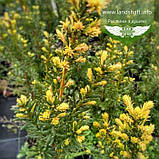 Taxus x media 'Hicksii', Тис середній 'Хіксі',WRB - ком/сітка,120-140см, фото 3