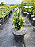Taxus x media 'Hicksii', Тис середній 'Хіксі',WRB - ком/сітка,120-140см, фото 4