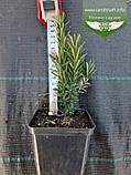 Taxus x media 'Hicksii', Тис середній 'Хіксі',WRB - ком/сітка,120-140см, фото 5