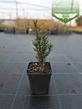 Taxus x media 'Hicksii', Тис середній 'Хіксі',WRB - ком/сітка,120-140см, фото 6