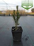 Taxus x media 'Hicksii', Тис середній 'Хіксі',WRB - ком/сітка,120-140см, фото 7