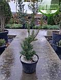 Taxus x media 'Hicksii', Тис середній 'Хіксі',WRB - ком/сітка,120-140см, фото 8